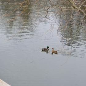 Duck love!