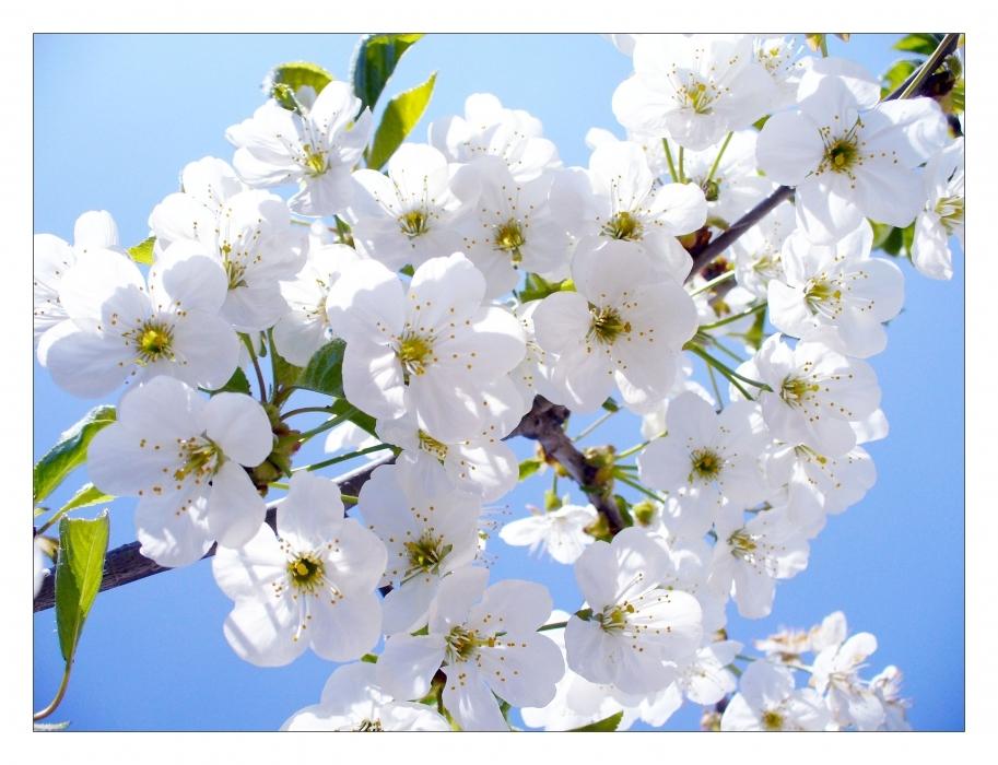 Поза цветы вишни картинка 6